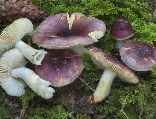 Russula puellaris