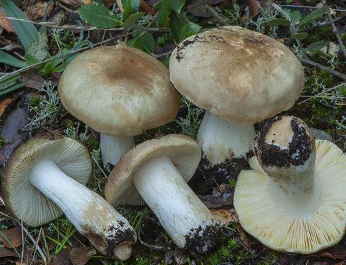 Russula graveolens