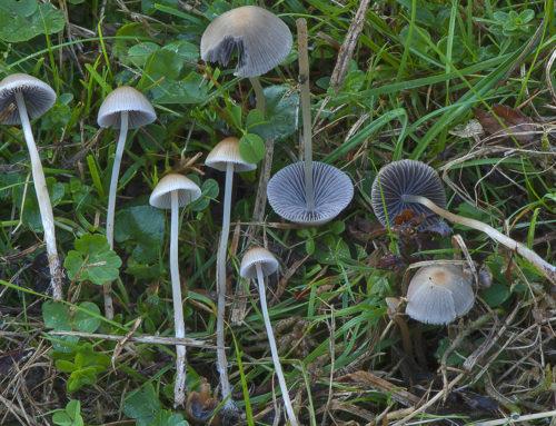 Psathyrella corrugis